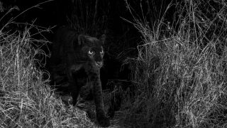 Black_Leopard/ Photo credit Will Burrard-Lucas